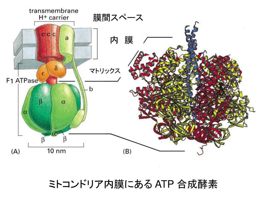 膜間スペース 内 膜 マトリックス ミトコンドリア内膜にある ATP 合成酵素