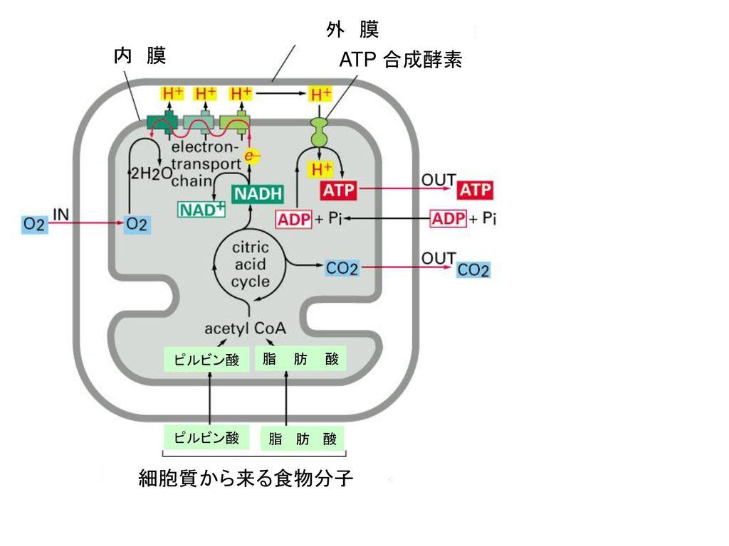 外 膜 内 膜 ATP 合成酵素 ピルビン酸 脂肪酸 ピルビン酸 脂肪酸 細胞質から来る食物分子