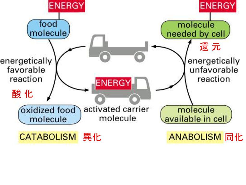 還 元 酸 化 異化 同化