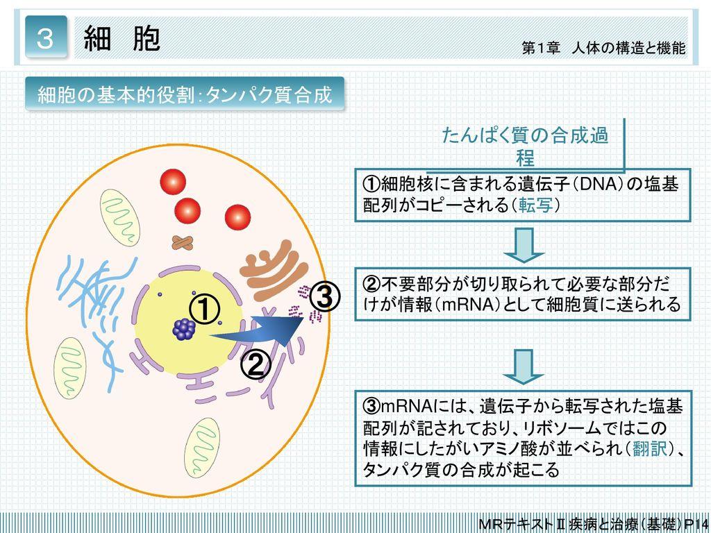 ③ ① ② 3 細 胞 たんぱく質の合成過程 細胞の基本的役割:タンパク質合成