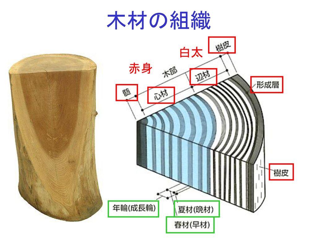 木材の組織 白太 赤身