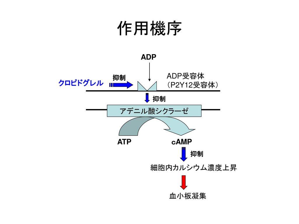 作用機序 ADP ADP受容体 (P2Y12受容体) クロピドグレル アデニル酸シクラーゼ ATP cAMP 細胞内カルシウム濃度上昇