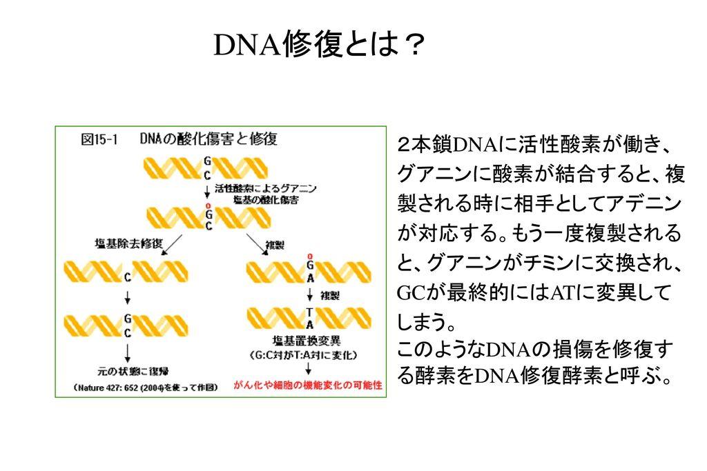 DNA修復とは? 2本鎖DNAに活性酸素が働き、グアニンに酸素が結合すると、複製される時に相手としてアデニンが対応する。もう一度複製されると、グアニンがチミンに交換され、GCが最終的にはATに変異してしまう。