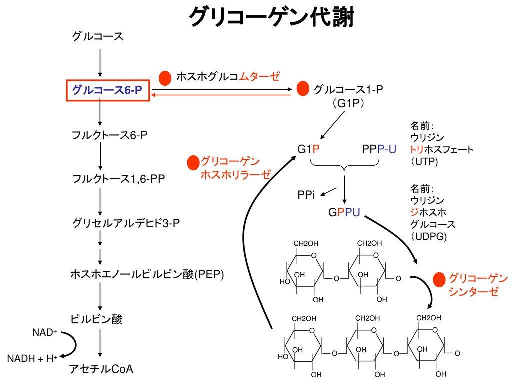 グリコーゲン代謝 グルコース ホスホグルコムターゼ グルコース6-P グルコース1-P (G1P) フルクトース6-P PPP-U G1P
