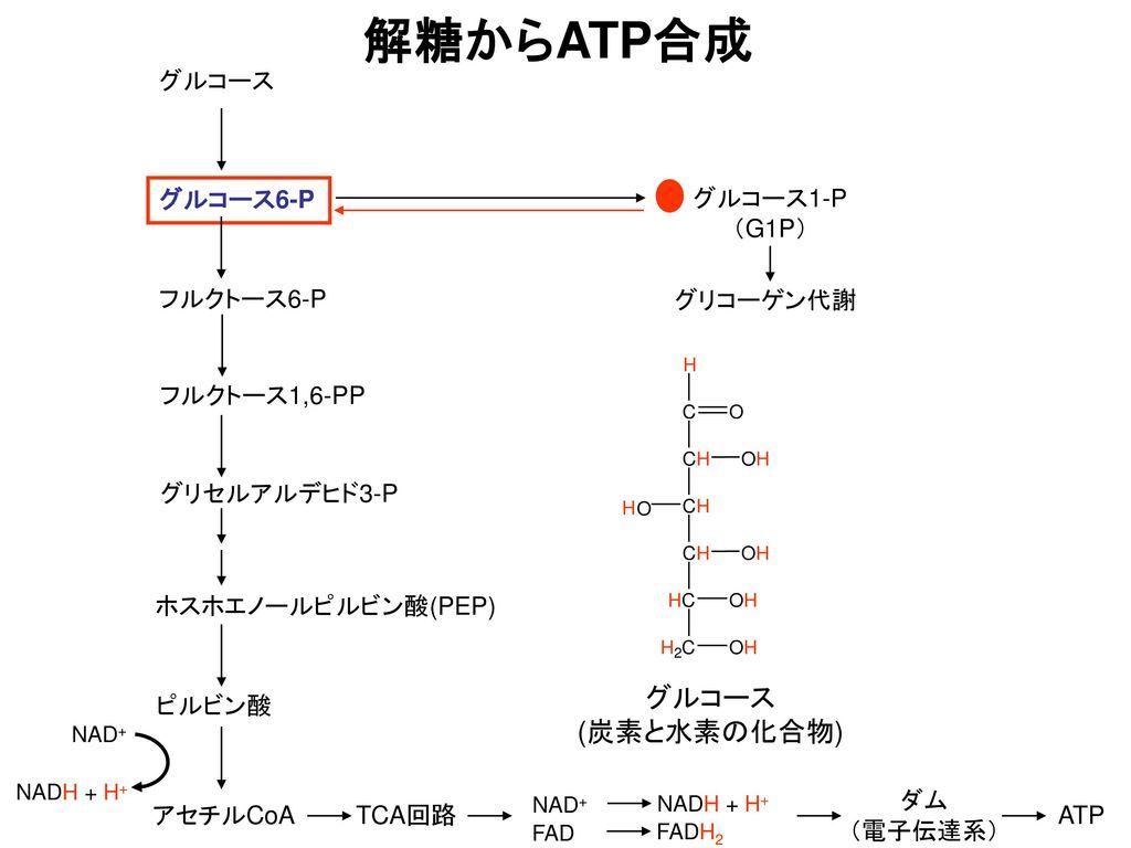 解糖からATP合成 グルコース (炭素と水素の化合物) グルコース グルコース6-P グルコース1-P (G1P) フルクトース6-P