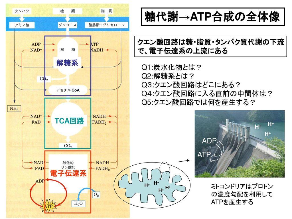 糖代謝→ATP合成の全体像 クエン酸回路は糖・脂質・タンパク質代謝の下流 で、電子伝達系の上流にある 解糖系 Q1:炭水化物とは?