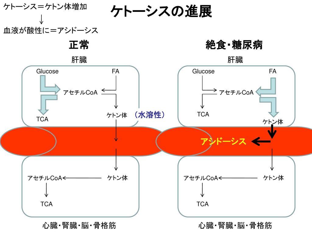ケトーシスの進展 正常 絶食・糖尿病 アシドーシス ケトーシス=ケトン体増加 血液が酸性に=アシドーシス 肝臓 肝臓 (水溶性)