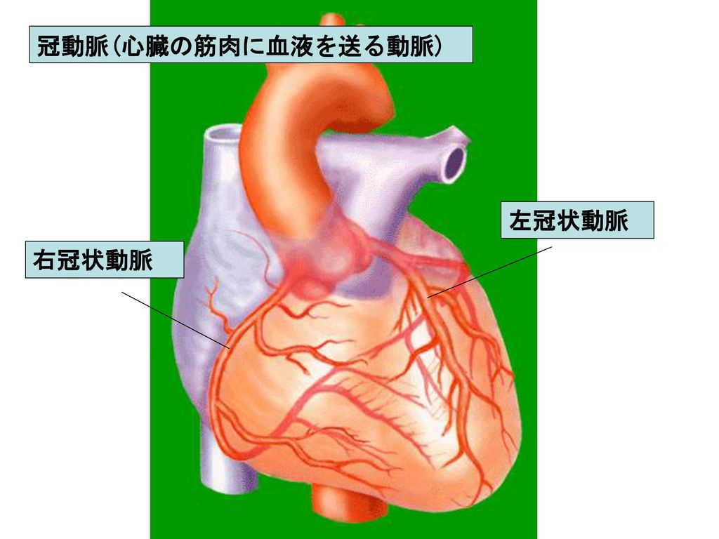 冠動脈(心臓の筋肉に血液を送る動脈) 左冠状動脈 右冠状動脈