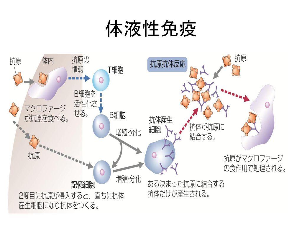 体液性免疫