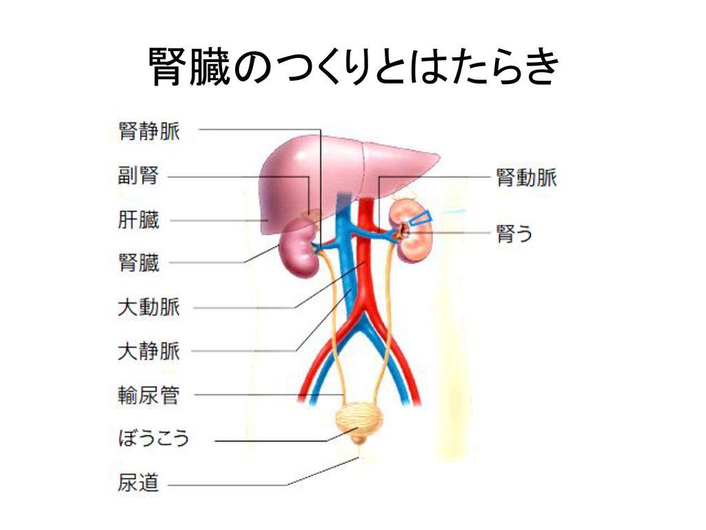 腎臓のつくりとはたらき