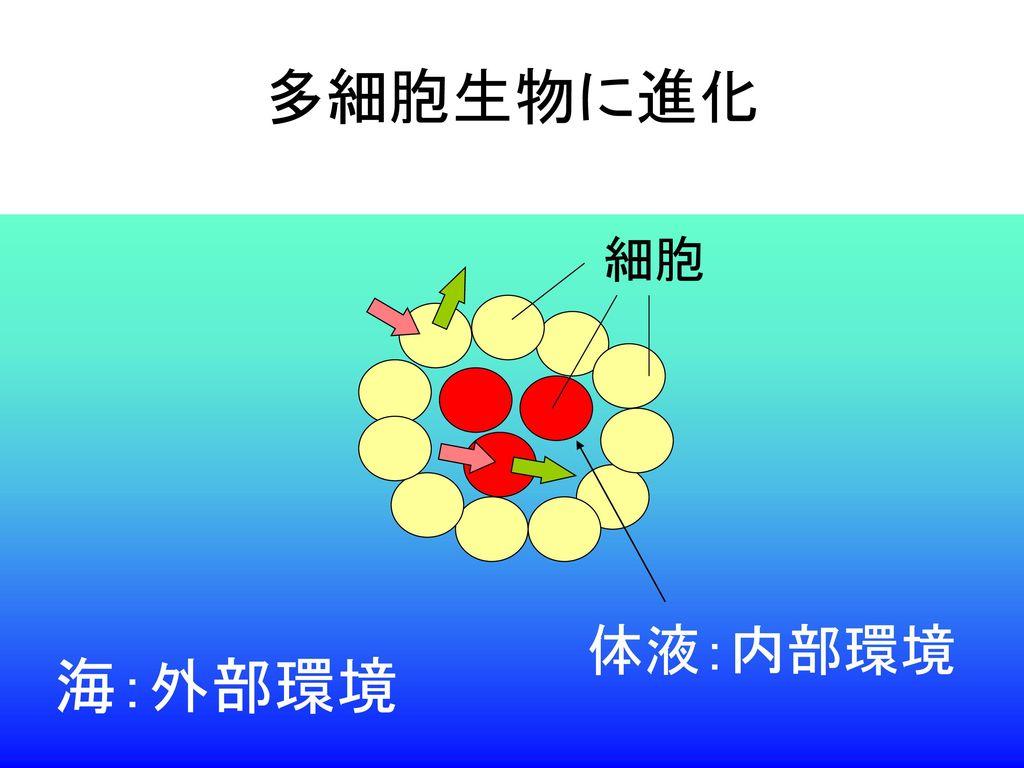 多細胞生物に進化 細胞 体液:内部環境 海:外部環境