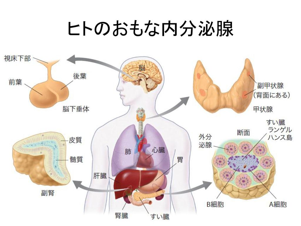 ヒトのおもな内分泌腺