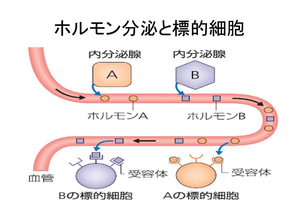 ホルモン分泌と標的細胞
