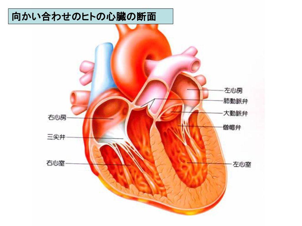 向かい合わせのヒトの心臓の断面