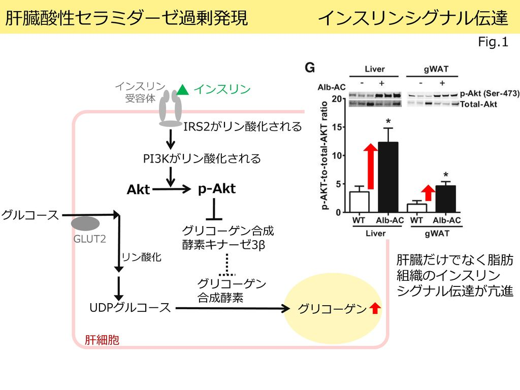 セラミド分解の標的導入は全身の代謝を改善し、脂肪肝を減らす