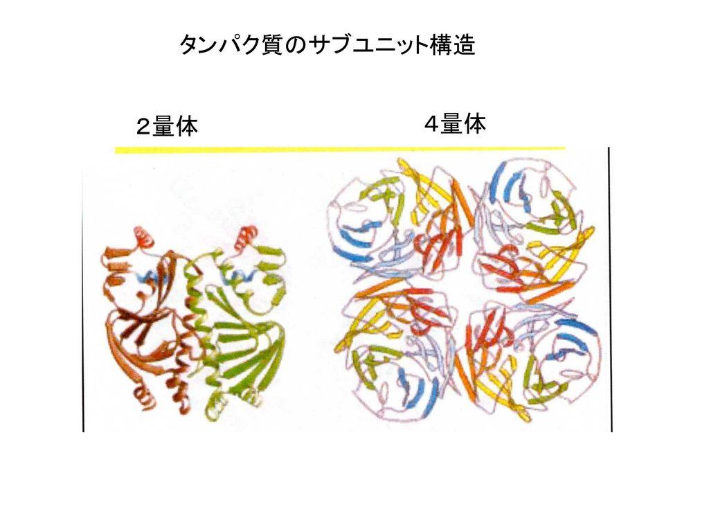 タンパク質のサブユニット構造 2量体 4量体