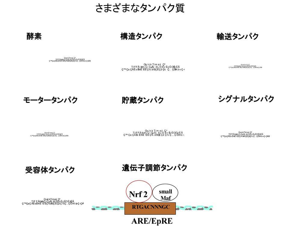 さまざまなタンパク質 N r f 2 A R E / E p R E 酵素 構造タンパク 輸送タンパク モータータンパク 貯蔵タンパク