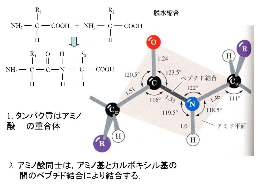 2. アミノ酸同士は,アミノ基とカルボキシル基の 間のペプチド結合により結合する.