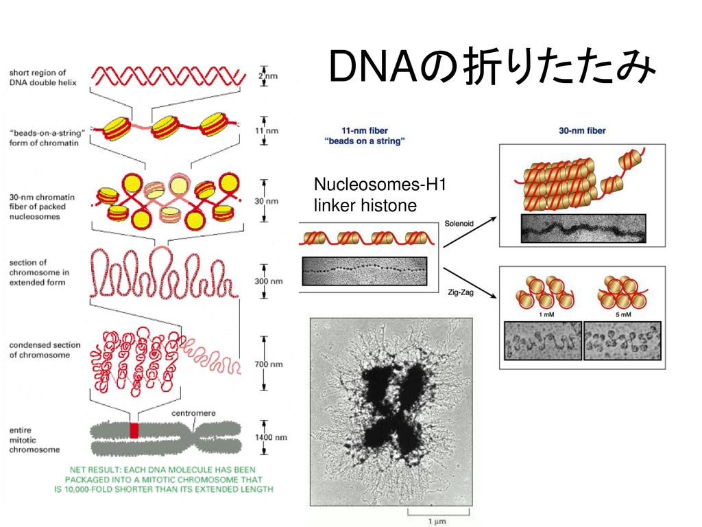 DNAの折りたたみ Nucleosomes-H1 linker histone