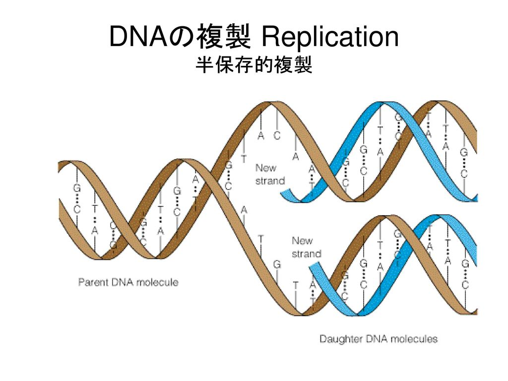 DNAの複製 Replication 半保存的複製