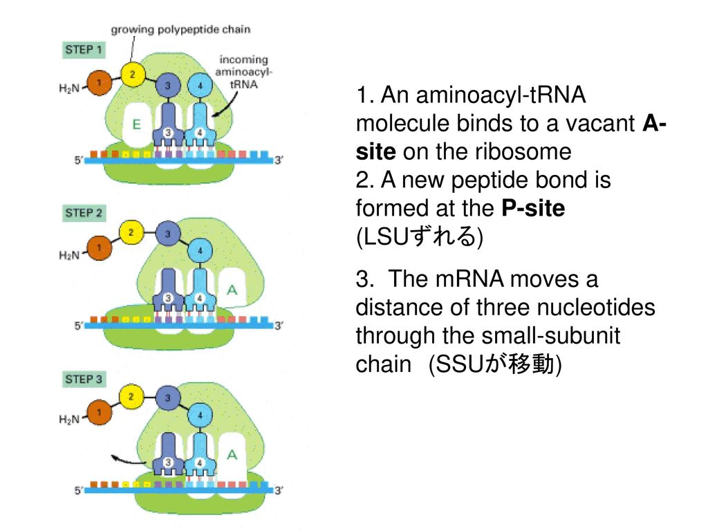 1. An aminoacyl-tRNA molecule binds to a vacant A-site on the ribosome 2. A new peptide bond is formed at the P-site (LSUずれる)