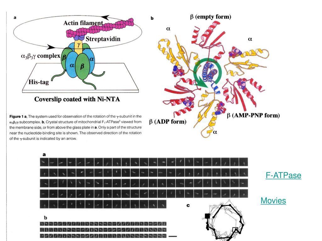 F-ATPase Movies