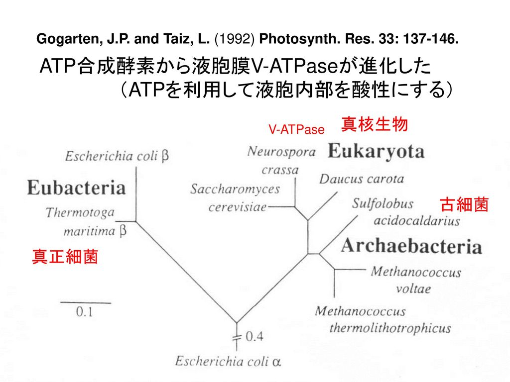 Gogarten, J.P. and Taiz, L. (1992) Photosynth. Res. 33: