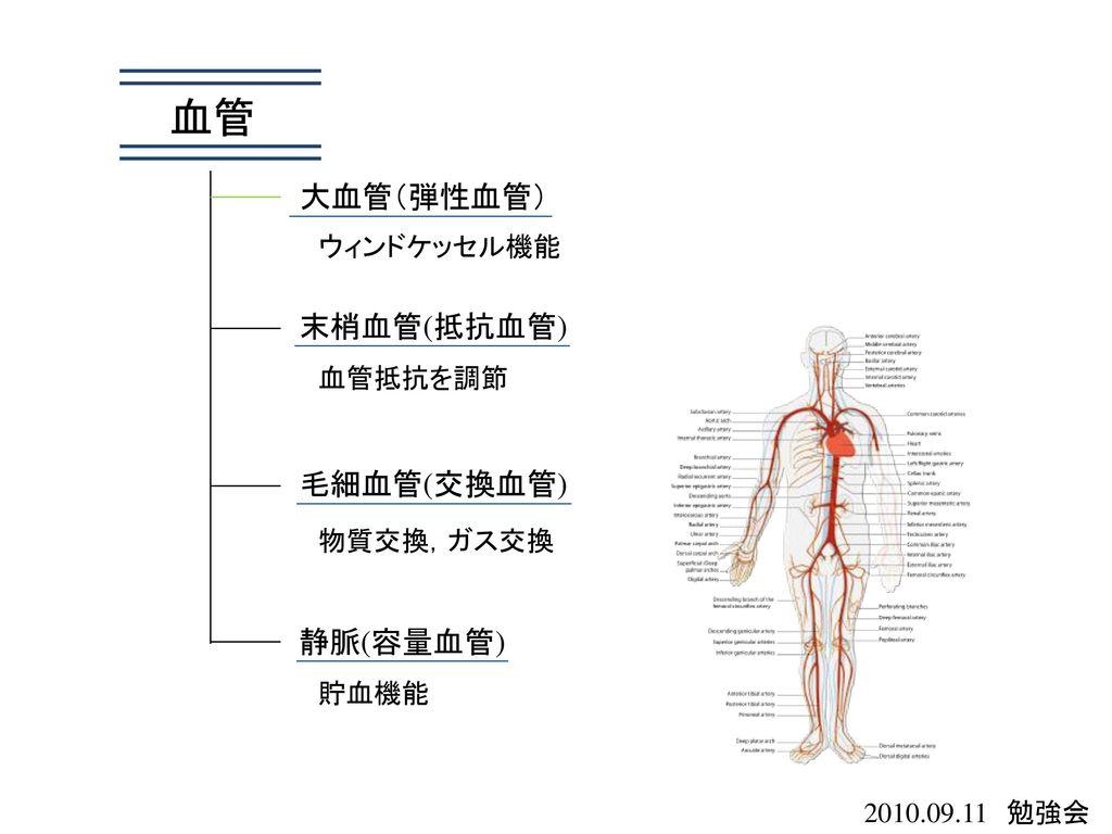 血管 大血管(弾性血管) 末梢血管(抵抗血管) 毛細血管(交換血管) 静脈(容量血管) ウィンドケッセル機能 血管抵抗を調節