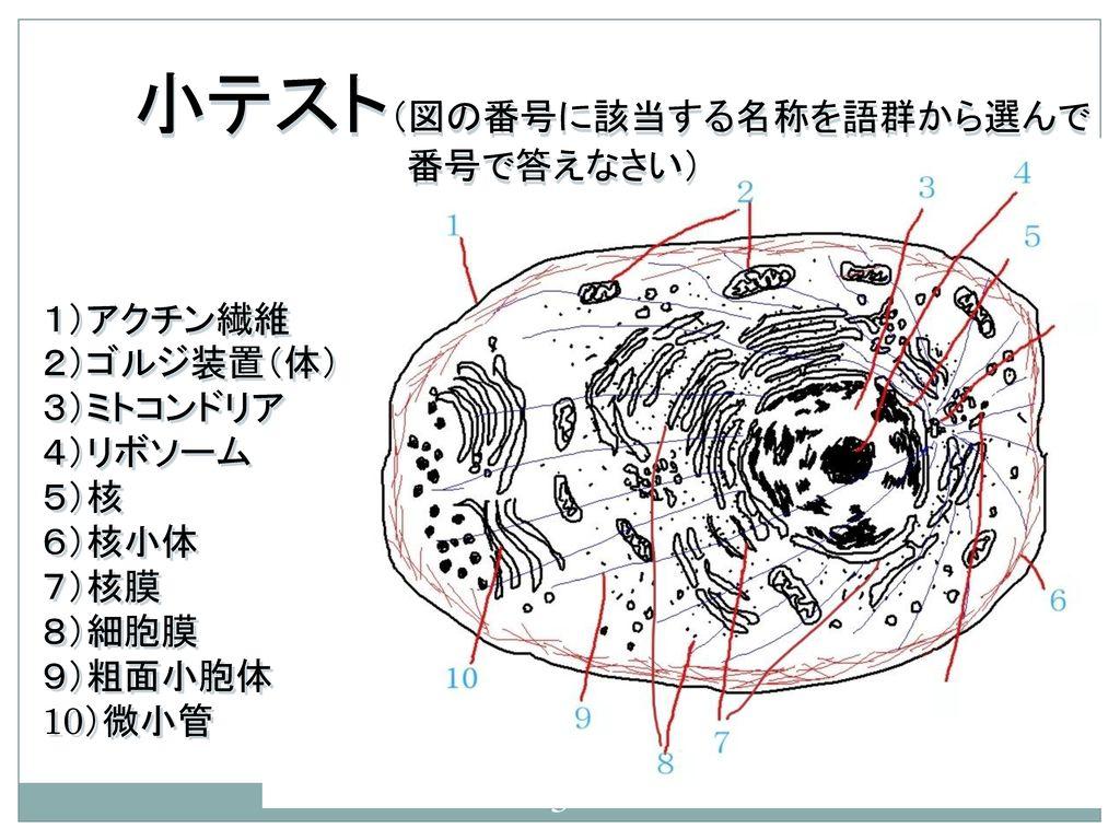 生物学 第4回 多様な細胞の形と働きは      タンパク質のおかげ 和田 勝.