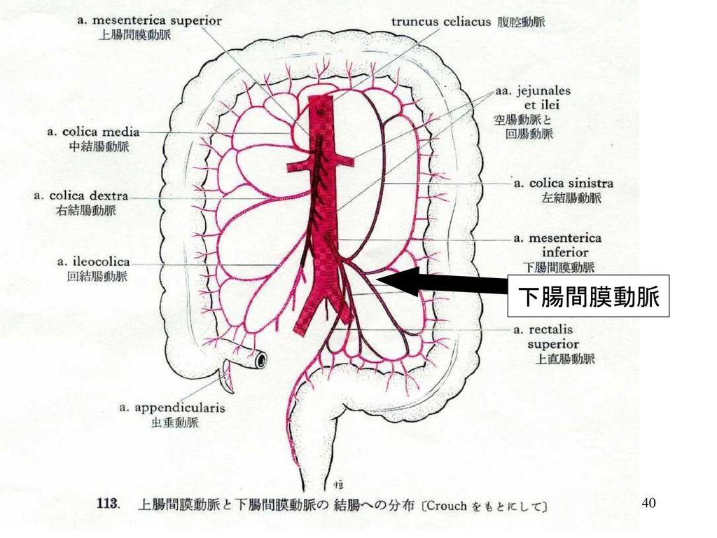 上腸間膜動脈 - Superior mesent...
