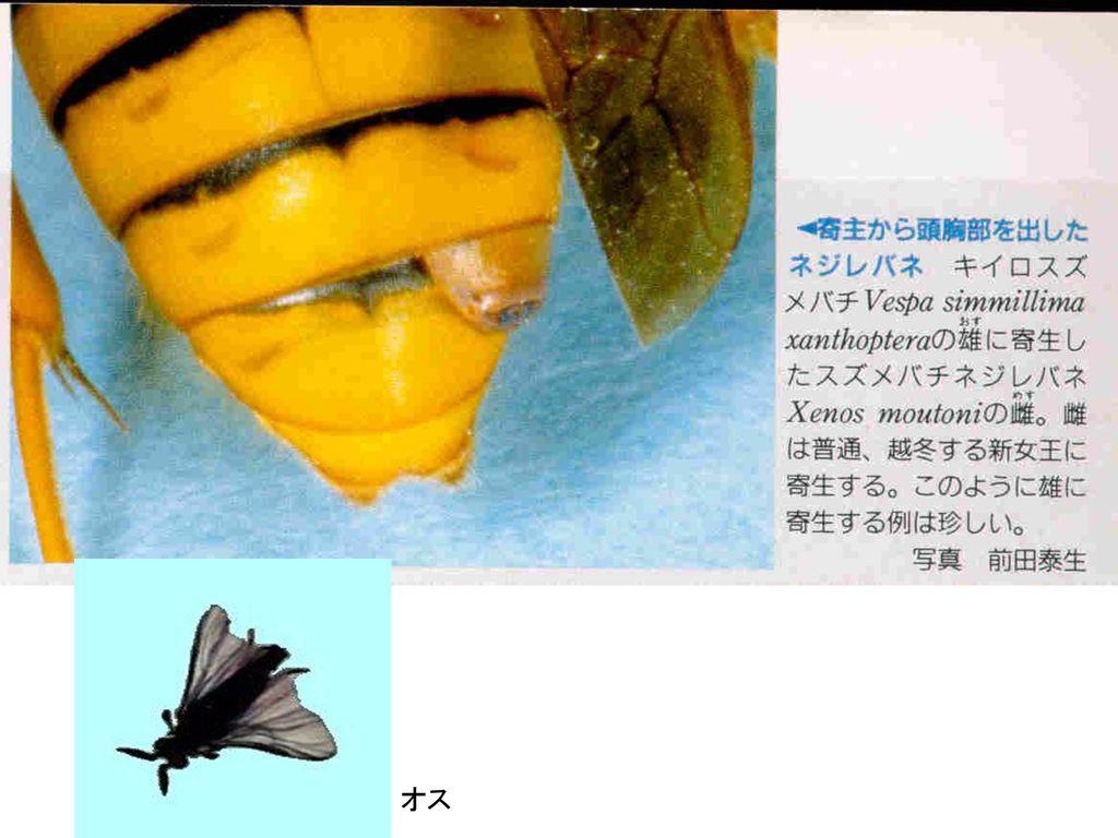 ○ネジレバネ目(撚翅目でんしもく) Strepsiptera , ppt download